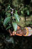 Lolgorian, Kenya. Siria Maasai man's hand with scented plant 'Esongoyo'; leaves used as perfume. Justicia sp.