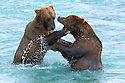 When the salmon are running there is plenty of food for bears to share.  The usual solitary animals gather at the river to catch as much fish as they can and often run into siblings while they congregate.  Play fights like this help to pass the time while they wait for more salmon.
