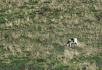 Cow grazes on hillside pasture, Madison, New York, USA