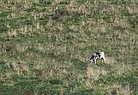 Cow grazes on hillside pasture, Madison, New York, USA