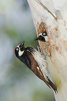 Acorn Woodpecker, Melanerpes formicivorus, two males at nesting cavity in sycamore tree, Madera Canyon, Arizona, USA