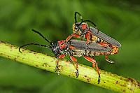 Schwarzfüßiger Walzenhalsbock, Schwarzfuß-Walzenhalsbock, Paarung, Kopulation, Phytoecia nigripes, Musaria nigripes, Phytoecia affinis, Musaria affinis, pairing, copulation