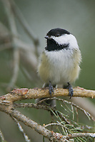 Black-capped chickadee perched on a pine tree branch