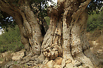 T-138 Sycamore in Nahal Neder