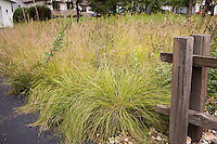 Wisconsin front yard meadow garden lawn substitute in autumn with prairie grasses, Sporobolus heterolepis (Prairie Dropseed) yellowish fall color and Bouteloua curtipendula - Side Oats Grama, Dalea seedheads; design by Neil Diboll