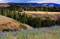 Bachelor button flowers and old barn. Columbia River Gorge National Scenic Area, Oregon