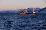 Each november, hundreds of orcas (killer whales) enter the tysfjord, 200 km south of Narvik, hunting herrings. They stay all the winter in these cold waters. Big fishing boats catch herrings and respect orcas. Tysfjord. Norway