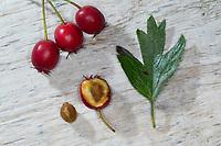 Eingriffliger Weißdorn, Eingriffeliger Weißdorn, Weissdorn, Weiß-Dorn, Weiss-Dorn, Hagedorn, Crataegus monogyna, hawthorn, common hawthorn, oneseed hawthorn, single-seeded hawthorn, English Hawthorn, May, fruit, L'Aubépine monogyne, L'Aubépine à un style, Blatt, Blätter, leaf, leaves, Frucht, Früchte, Beeren, Samen, berry, berries, seed, Samenkern