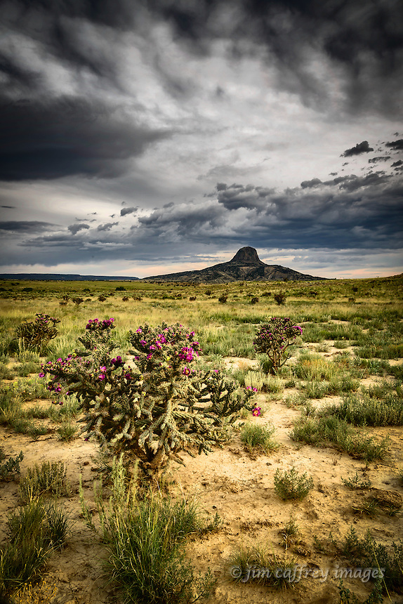Chainfruit Chollas bloom near Cabezon Peak in New Mexico's Rio Puerco Valley