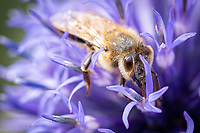 BNPS.co.uk (01202) 558833. <br /> Pic: GaryOwen/BNPS<br /> <br /> Could you bee any closer? <br /> <br /> A worker bee pollinating a southern globe thistle plant in this remarkable 'macro' photograph by Gary Owen.