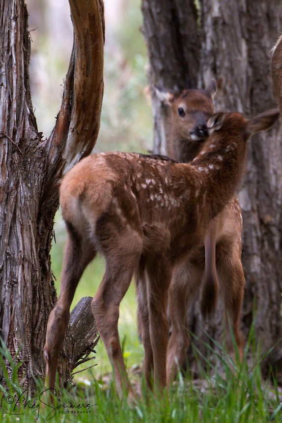 Young elk (Cervus canadensis)calves play in a shady grove.