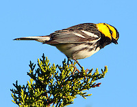 Adult male golden-cheeked warbler. I'm looking at you.