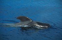 Short finned Pilot whale, Globicephala, macrorhynchus, Surfacing male, Gomera coast, Canary Islands, Atlantic