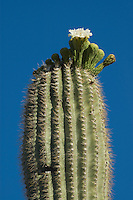 Blooming saguaro cactus, Carnegiea gigantea (Cereus giganteus) Organ Pipe Cactus National Monument, Arizona.