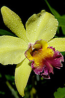 FLOWERS, ORCHIDS, PALAU MICRONESIA