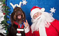 Dogs are photographed with Santa at a fundraiser for Dogs Deserve Better at Pet Pros in Redmond, WA on December 12, 2010. (photo by Karen Ducey)Rossi, a chocolate labradoodle, is photographed with Santa at a fundraiser for Dogs Deserve Better at Pet Pros in Redmond, WA on December 12, 2010. (photo by Karen Ducey)