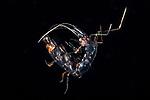 Phronima , pelagic crustacean, Black Water Diving; Jellyfish; Plankton; larval crustaceans; larval fish; marine behavior; pelagic creatures; pelagic larval marine life; plankton creatures; underwater marine life; vertical migration marine creatures