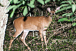 White-tailed deer doe facing right looking at camera.