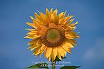 Domestic Sunflower