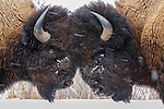 Two bison butt heads, Yellowstone National Park, Wyoming, USA<br /> <br /> Canon EF 70-200mm f/2.8L IS II USM Lens