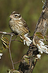 Rose-breasted grosbeak - female