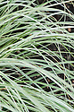 Cortaderia selloana 'Silver Comet', early June. A large evergreen Pampas grass with arching green foliage edged in white. Tall stems bear creamy white flower plumes in late summer and early autumn.