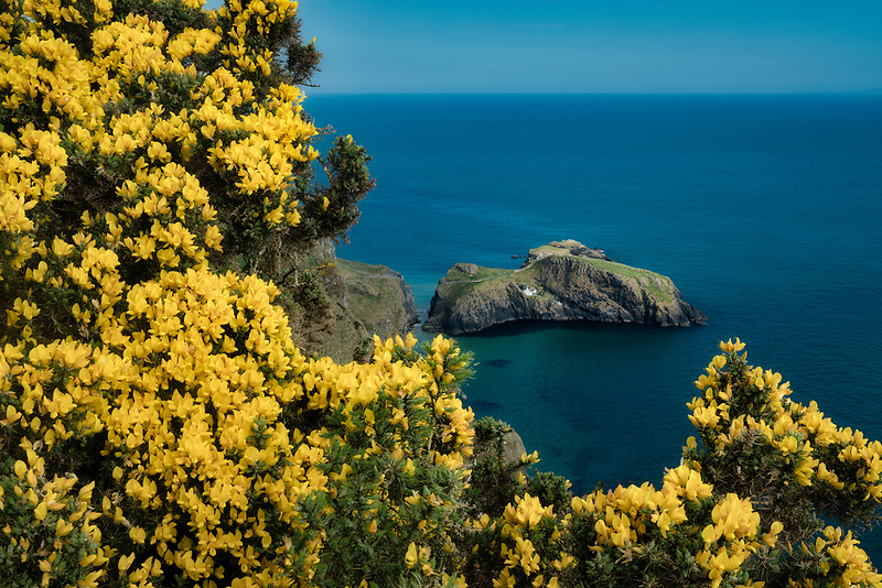 Carrick-a-Rede Island and bridge from Portaneevey Viewpoint and blooming gorse. Northern Ireland