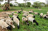 ZAMBIA, Mazabuka, medium-scale farm of Devlin Chilala, grazing cattle