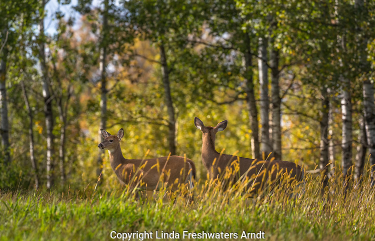 Alert white-tailed doe and fawn at the edge of a northern Wisconsin aspen forest.