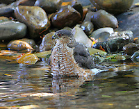 Adult sharp-shinned hawk bathing
