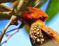 Male cinnamon woodpecker
