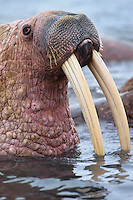 Walrus bull (Odobenus rosmarus), Alaska.
