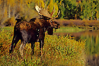 Bull moose (Alces alces), Grand Teton National Park, Wyoming.  Fall.