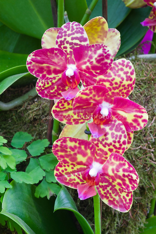 Phalaenopsis Sandy McLane spotted yellow and orange moth orchid, hybrid (Amber Sands x Spica, 1976 by C. Beard)