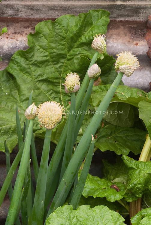 Allium fistulosum Welsh Onion, Bunching onion, Japanese Onions, Spring Onion vegetable growing