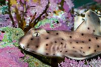 Horn Shark (Heterodontus francisci) (c)