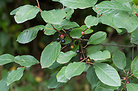 Faulbaum, Früchte, Gewöhnlicher Faulbaum, Frangula alnus, Rhamnus frangula, Alder Buckthorn, Common Buckthorn, Buckthorn, fruit, La Bourdaine, Bourgène