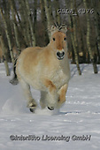 Bob, ANIMALS, REALISTISCHE TIERE, ANIMALES REALISTICOS, horses, photos+++++,GBLA4376,#a#, EVERYDAY