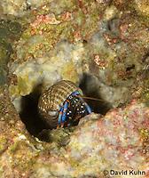 1205-0910  Aquatic, Underwater Hermit Crab Exiting Borrow, Dwarf Blue Leg Hermit Crab, Clibanarius tricolor  © David Kuhn/Dwight Kuhn Photography