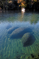 West Indian Manatee, Trichechus manatus latirostris, herd at rest in the early morning in Homosassa Springs, Florida, USA.