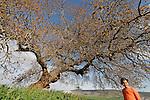 Israel, the Lower Galilee. Atlantic Pistachio (Pistacia Atlantica) tree in Beth Natofa valley.