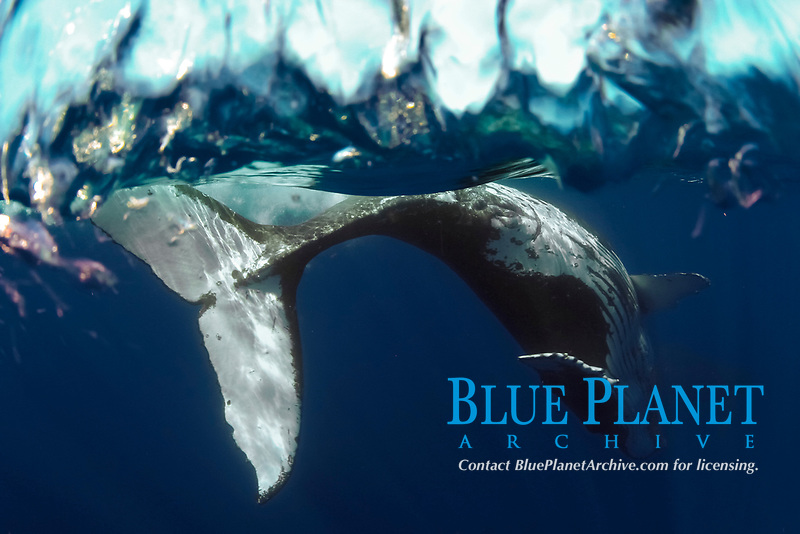 humpback whale, swimming upside down, Megaptera novaeangliae, Hawaii, Pacific Ocean