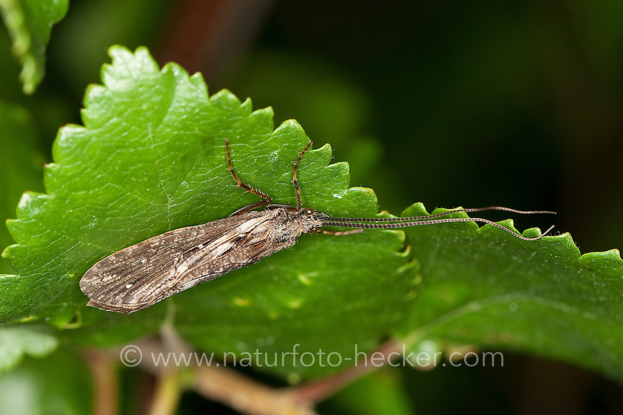 Köcherfliege, Phryganea spec., Phryganeidae, Rush Sedges, Rush Sedge