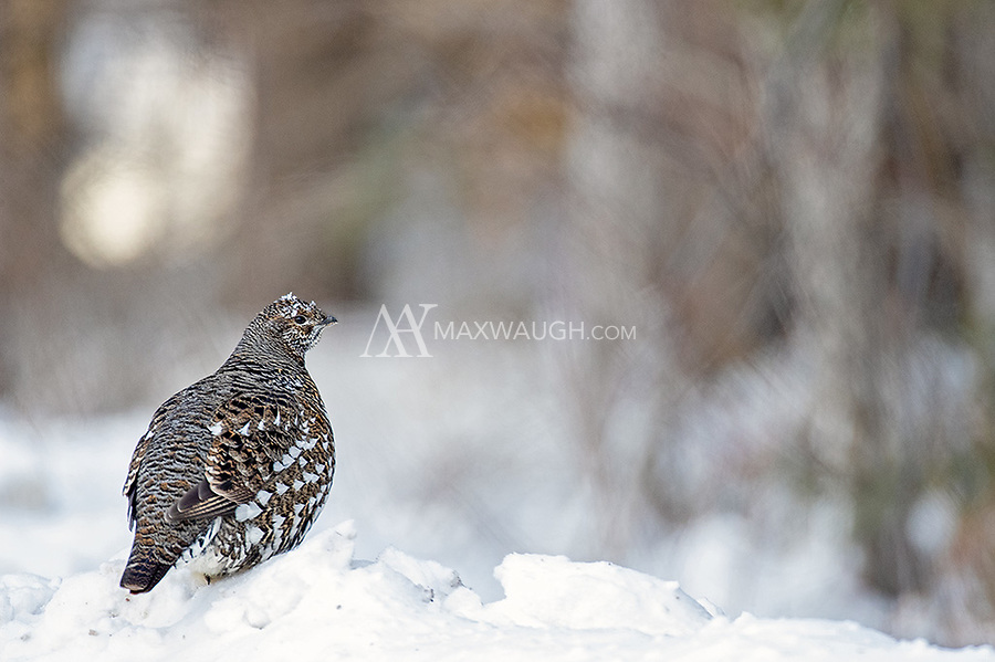 This was my first time seeing Spruce Grouse. We were fortunate to watch a male courting a couple of hens near the road during a -39C morning.