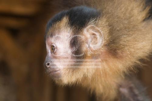 Xingu Indigenous Park, Mato Grosso State, Brazil. Barranco Alto (Kaiabi); pet monkey. Macaco prego.