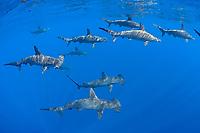 schooling female scalloped hammerhead sharks, Sphyrna lewini, Kona Coast, Hawaii Island (the Big Island), Hawaiian Islands, Indonesia,