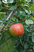 Apples growing ripe, Falstaff variety Malus domestica