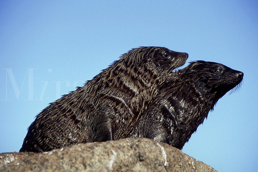 Juvenile New Zealand fur seals [Arctocephalus forsteri] were part of a colony numbering in the thousands around the Neptune Islands in South Australia.