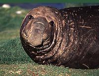Southern Elephant Seal Mirounga leonina. South Georgia Island Antarctica.