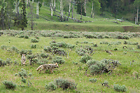 Wild Coyotes (Canis latrans) hunting in sage covered valley, Western U.S., June